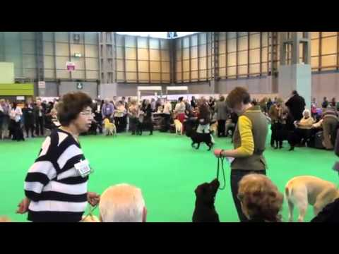 Tommy (Foxrush Rag Trade) al Crufts 2012