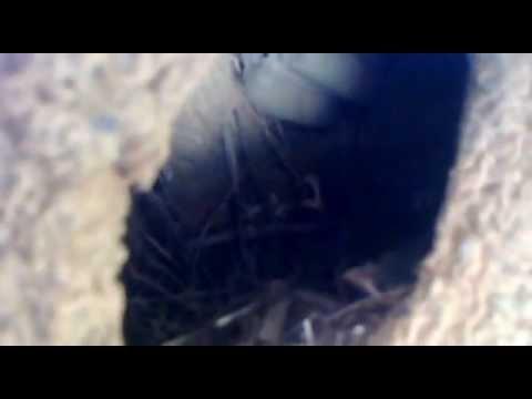 Filhotes de canário da terra chocados dentro da uma casa de João de Barro antiga