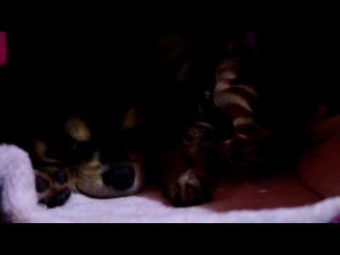 チワワのTiiDa 『クレートから出て来てくれません。』