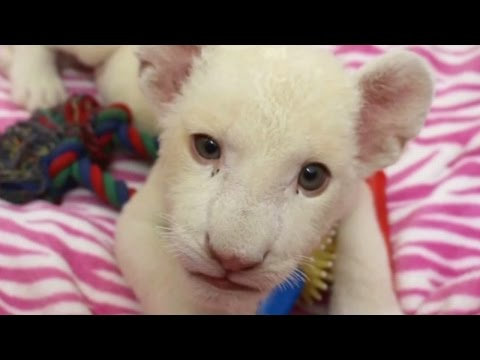 Playful white lion cub is now on display in Brazil