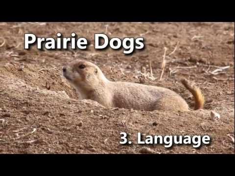 Prairie Dogs: America's Meerkats - Language