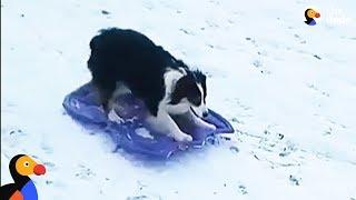 Smart Dog Takes Herself Sledding | The Dodo