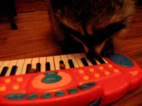 Енот ICQ ( Аська) играет на пианинке  с яростью 01.10.2010