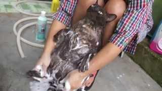 なすがままに洗われるチョットおデブな猫が可愛すぎ!