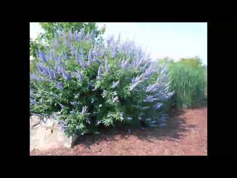 Mönchspfeffer, Heilpflanze