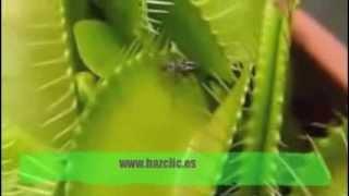 Planta Carnívora atrapa moscas Venus Fly Trap