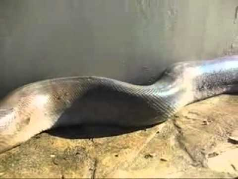 Snake(mobi99) video