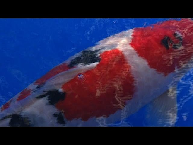 Koi story: priceless Japanese fish make a splash