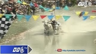 Đua bò An Giang 2013: Thong dong về đích | VTC