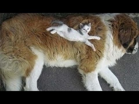 Chatons Grands chiens Rencontres la compilation 2014 [NEW HD]