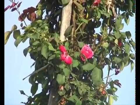 World Longest Flower with Height of 18.5 Feet Long Tree in India