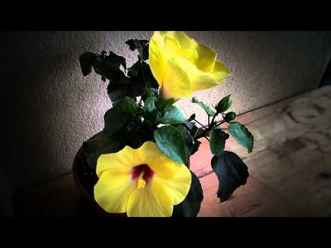 Webcam Blumen Zeitraffer - Webcam Flower Timelapse Royalty