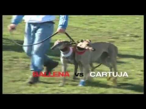 CAMPEONATO DE GALGOS EN CAMPO. FINAL EXTREMADURA 2010 / 2011