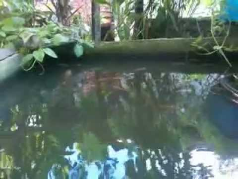 Tilapia Fish Pond