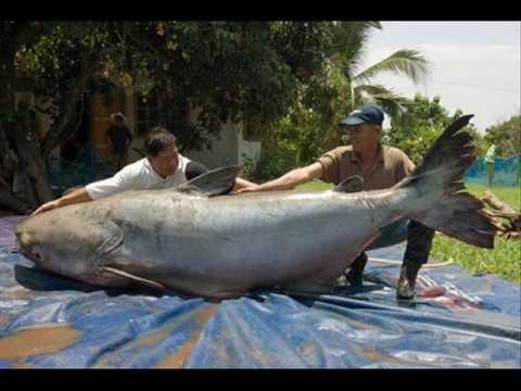 World's Largest Fish!!!