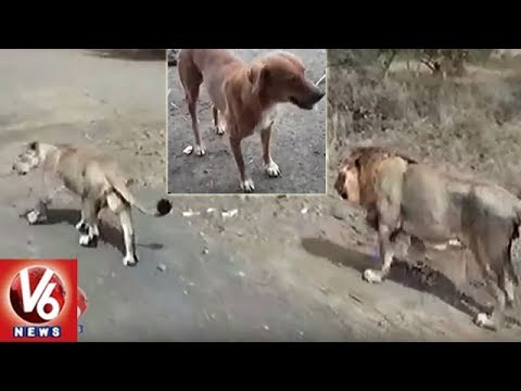 Dog Saves Shepherd From Lions Attack In Gujarat's Amreli | V6 News