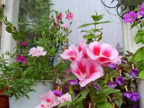 цветок фото годеция