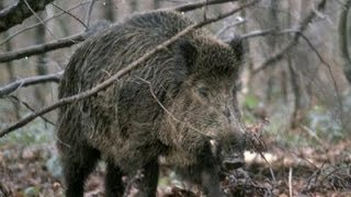 A wildboar is killed by Jan Guillou , a swedish trophy hunter .
