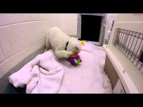 Snowball Plays with a Toy for the First Time