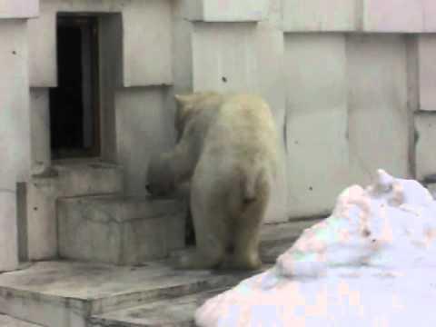 赤ちゃんをくわえて外に連れ出すララ 円山動物園ホッキョクグマ