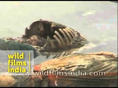 Rotting bodies floating in the river Ganga - India