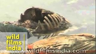 Rotting bodies float in the river Ganga - India