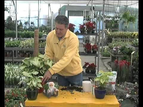 El jardinero en casa el singonio youtube - El jardinero en casa ...