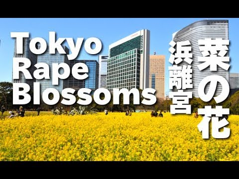 Tokyo Japan 東京都・浜離宮恩賜庭園の菜の花 rape Blossoms 東京観光 花の名所案内 video