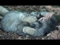 Pallas Cat Kittens - 3 months old pt4