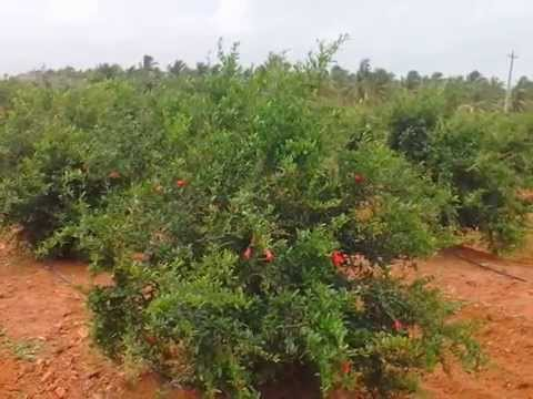 PLANTATION LAND FOR SALE IN CHITRADURGA DIST