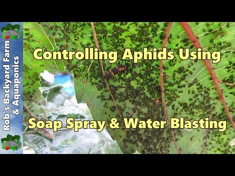 Aphid control using liquid soap spray & water blasting..