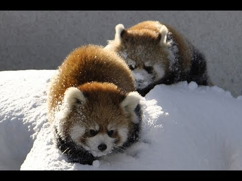 Red Panda playing in the snow