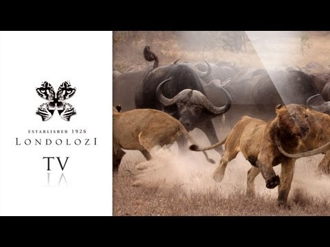 The Ultimate Lion and Buffalo Hunt - Londolozi TV