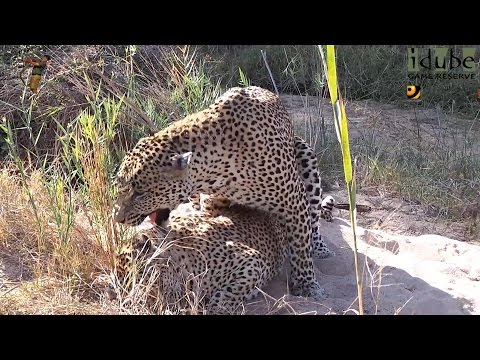 Sex In The Wild:  Up Close With Leopard Lovers video