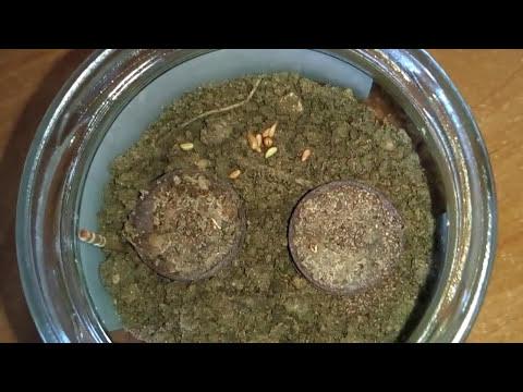 Как пропастить семена водных аквариумных растений