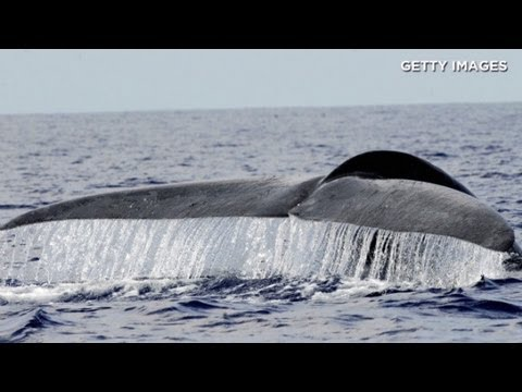 Biologist Describes Campaign To Save Sri Lanka's Blue Whale video
