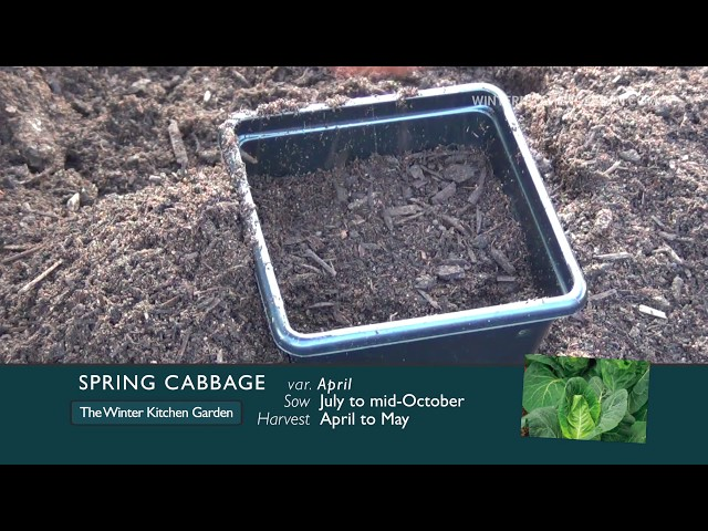 How to Grow Spring Cabbage | Winter Kitchen Garden | Amateur gardeners and allotments