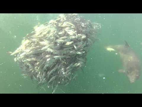 Porpoise feeding on bait ball of herring
