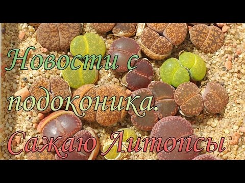 Новости с подоконника / Посадка литопсов - живые камни