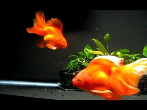 Goldfish Lullaby - Broadtail Ryukins ☮