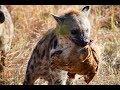 Anjing Hutan Hyena Vs Kedelai Vs Singa Laut