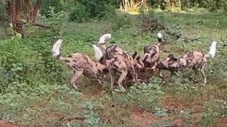 THE BIG 5 CHOBE LODGE wild dogs kill! BOTSWANA.........