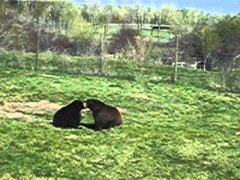 Brown Bear chasing Black Bear at Yellowstone Bear World
