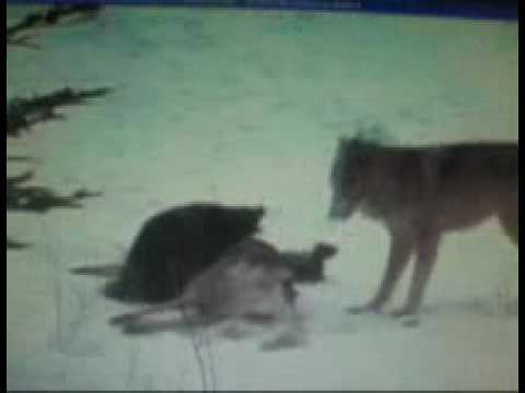 Wolverine vs wolf pack, wolverine destroys wolves.