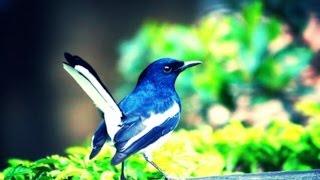 Download The national bird of bangladesh( বাংলাদেশ এর জাতিয় পাখি দোয়েল এর নাচ) doel pakhi 3Gp Mp4