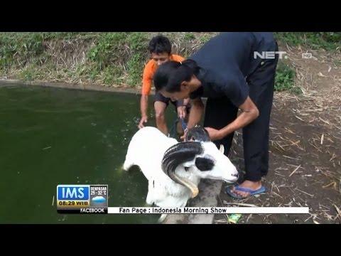 Ims - Salon Domba Di Garut Untuk Persiapan Lomba video