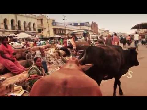 The cow-cam smoothly follows a cow around the busy streets of Jagannath Puri, Orissa / Odisha India,