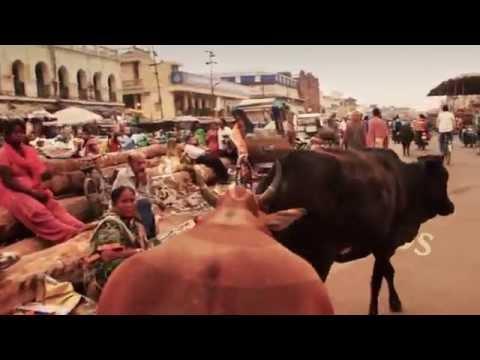 The cow-cam smoothly follows a cow around the busy streets of Jagannath Puri, Orissa / Odisha India,