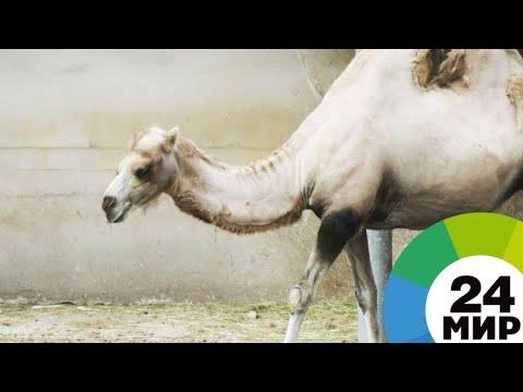 Верблюжонка в Нальчике назвали Толиком в честь электрика - МИР 24