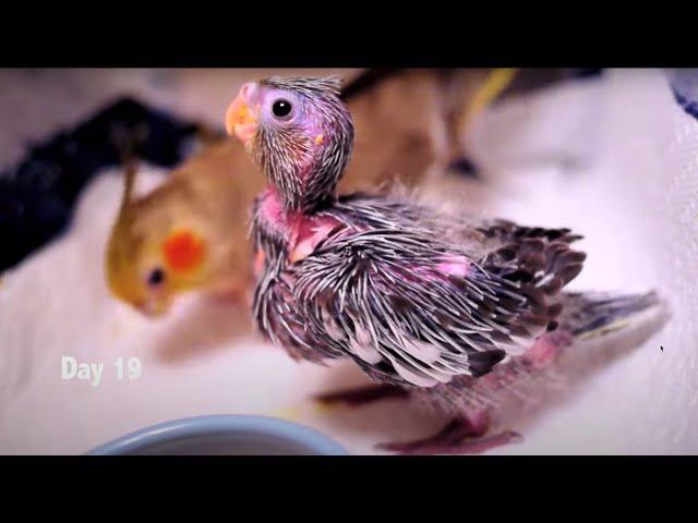 Baby Cockatiels' first 30 days